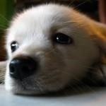 cucciol