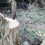 Alberi secolari riserva Laurentino 1-2